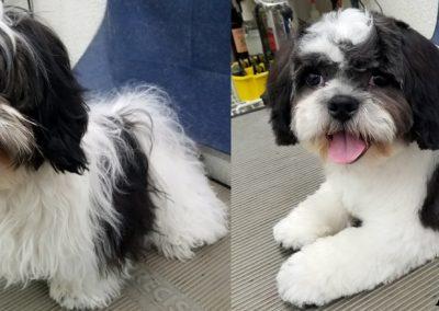 Shi-Tzu Puppy